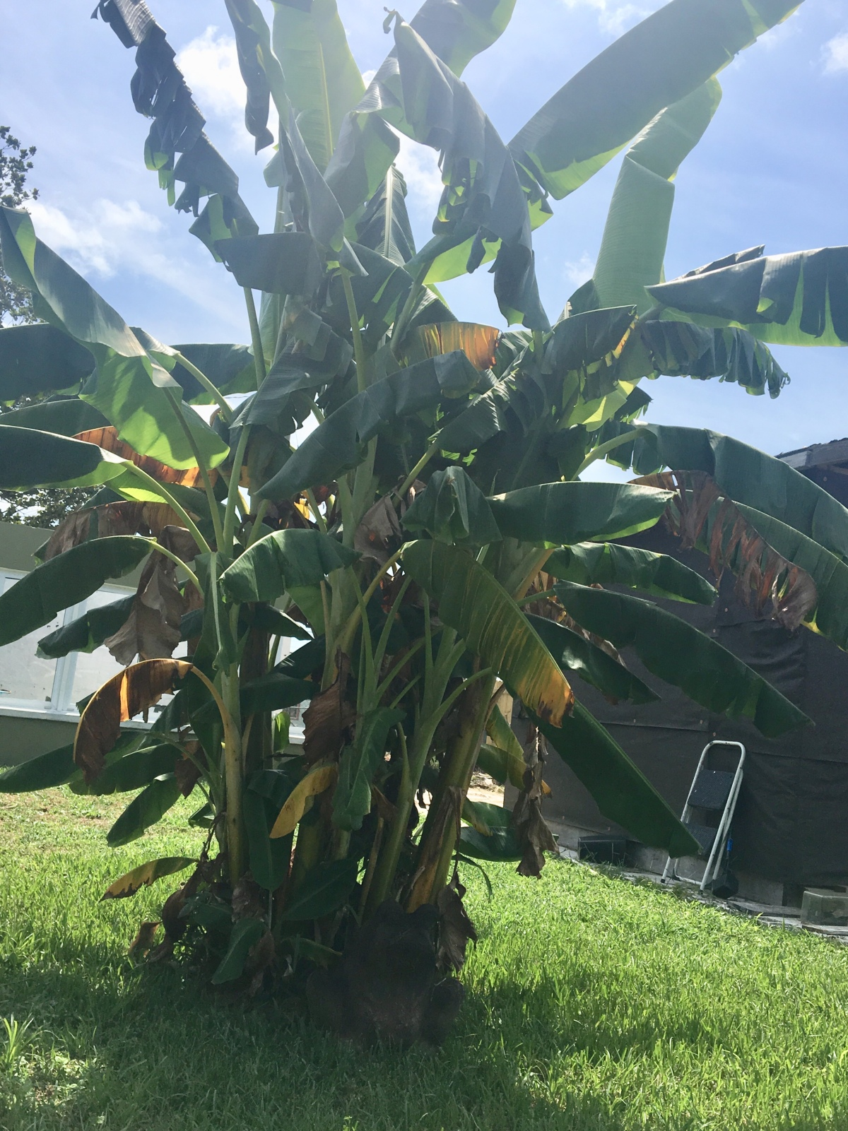 This old banana tree